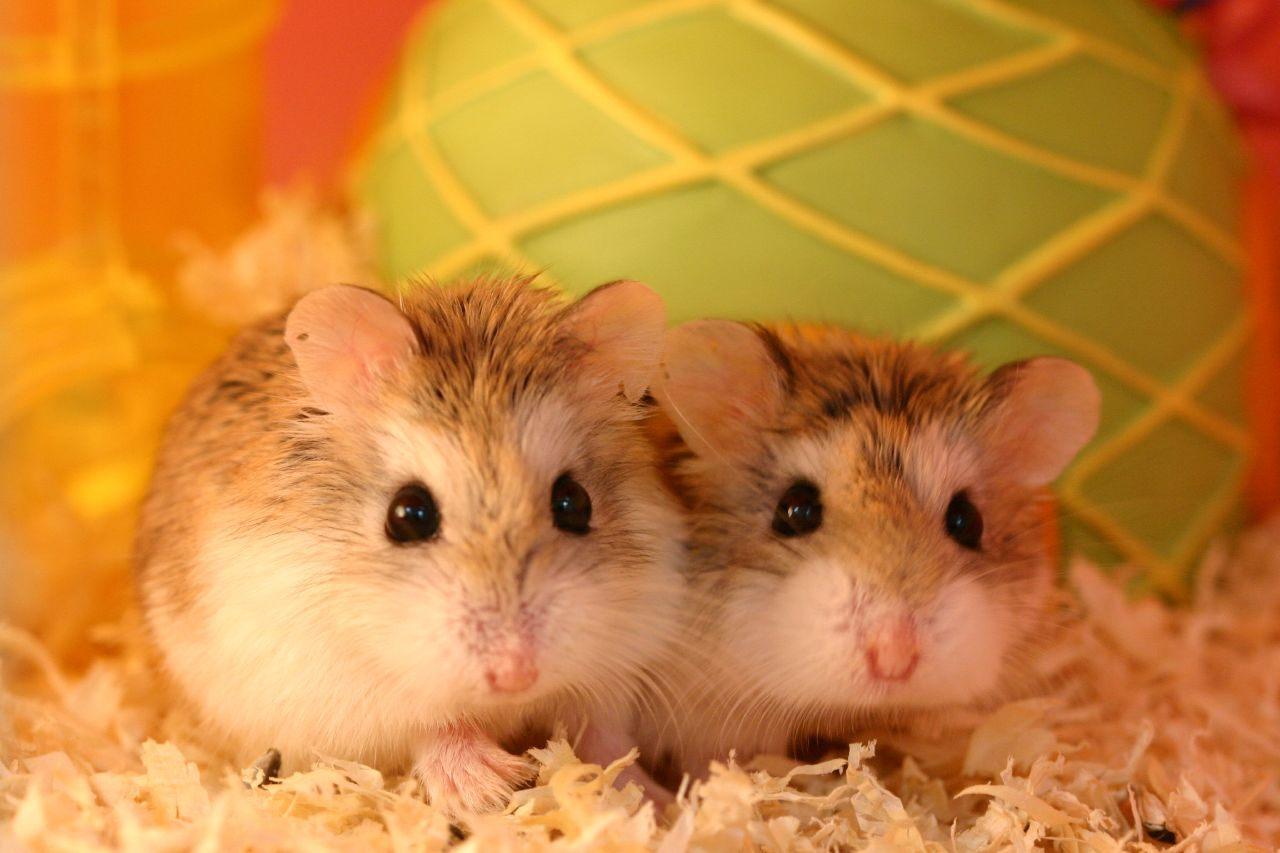 Galeria de fotos e imagens hamster roborovski - Hamster russe panda ...