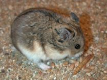 Hamster Siberiano Campbell